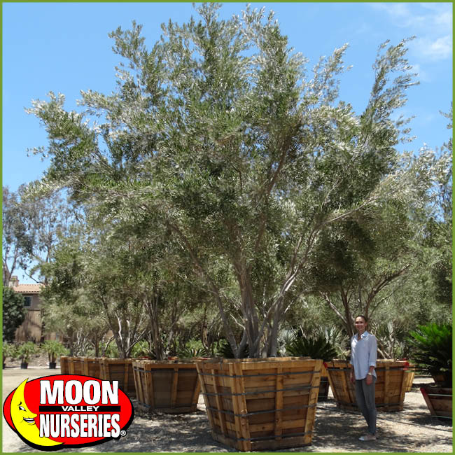 Don T Plant Central Valley Olive Trees