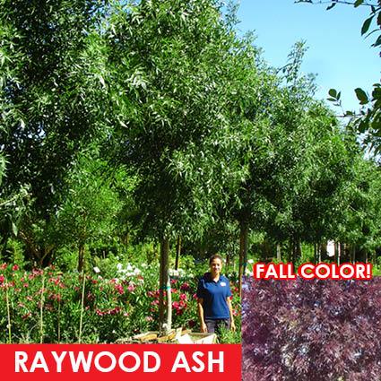 RAYWOOD_ASH