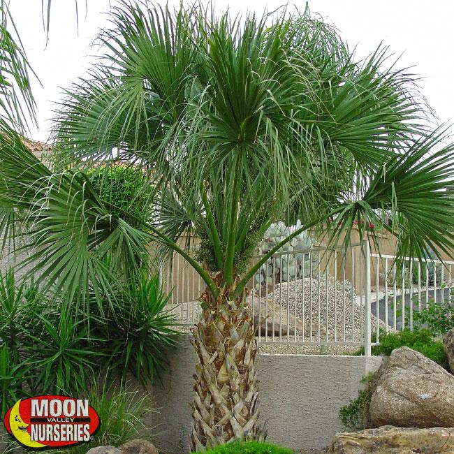 Sabal-Palm-In-Landscape-650x650-MVN