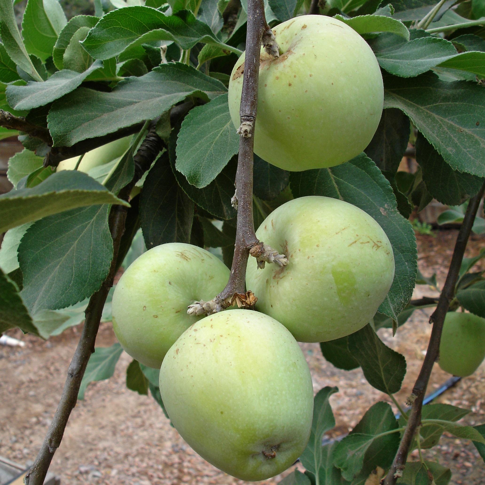 anna apple on tree copy