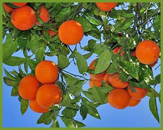 orange-tree-3