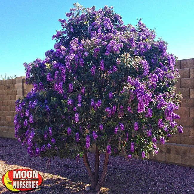 Texas-Mountain-Laurel