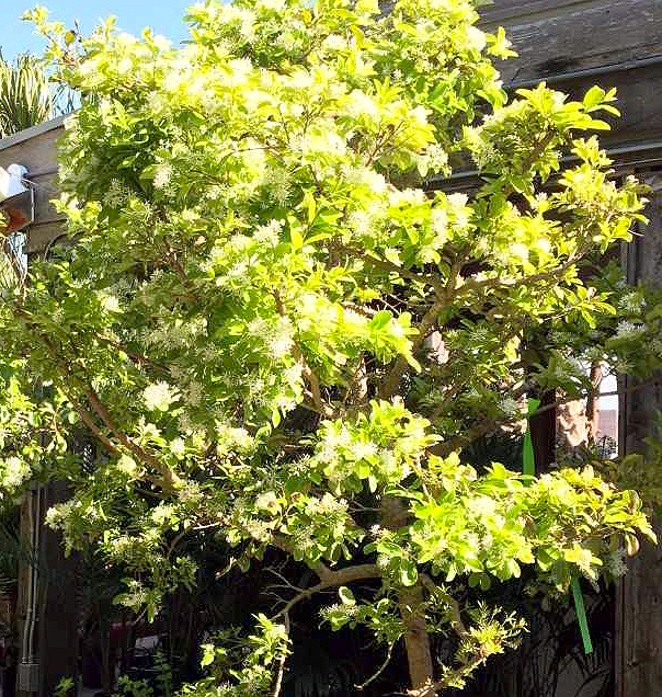 __chinese_fringe_tree_
