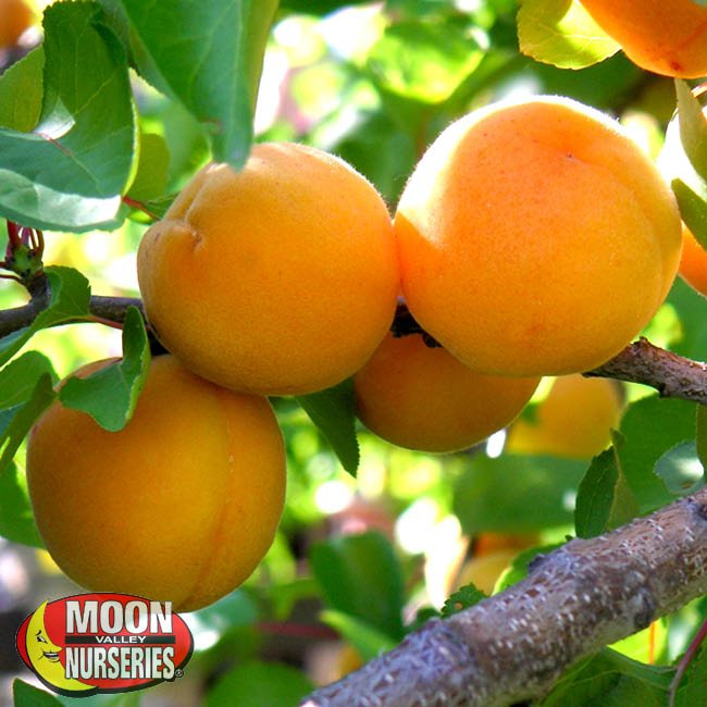 Apricot Fruit Trees Moon Valley Nurseries
