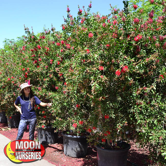 lemon bottlebrush,  moon valley nurseries, landscape design, tree nursery, arizona, hedges