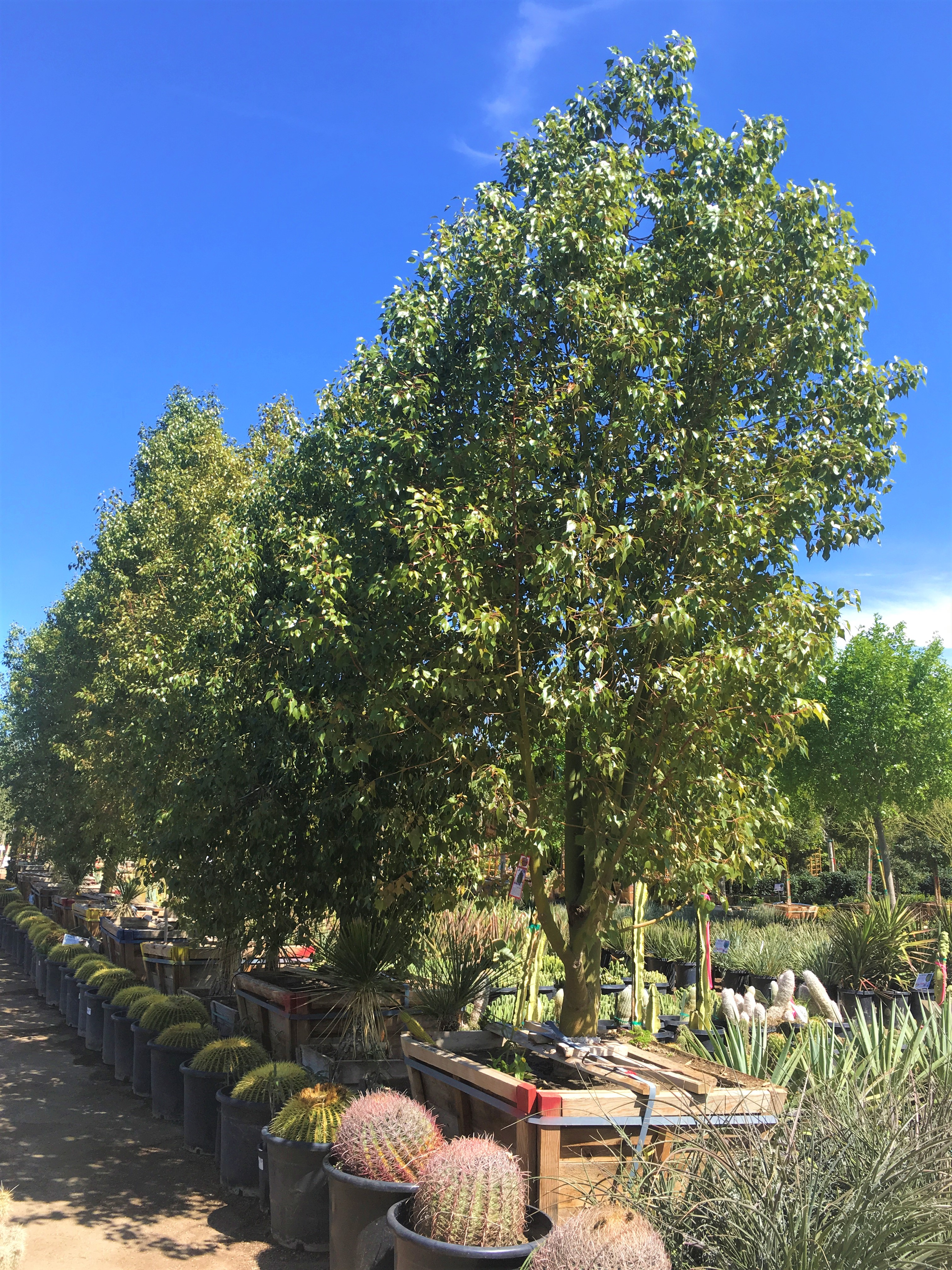 Best Evergreens For Summer In Las Vegas