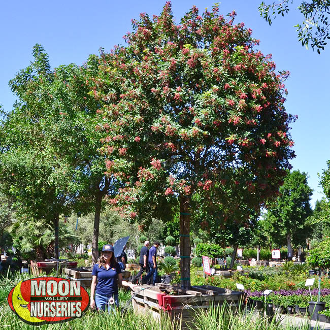 brazlian pepper tree,  moon valley nurseries, landscape design