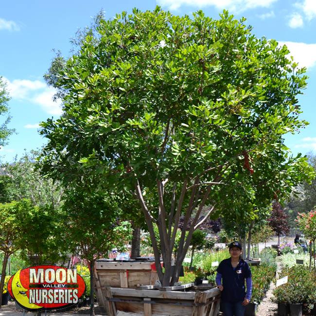 carrotwood tree, moon valley nurseries
