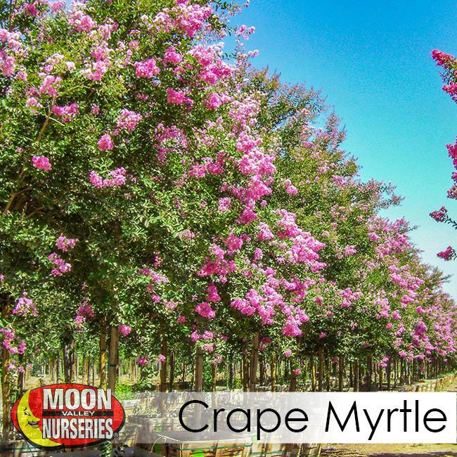 crape myrtle-2