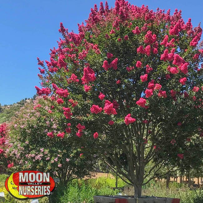 crape myrtle, tree, tree care, moon valley