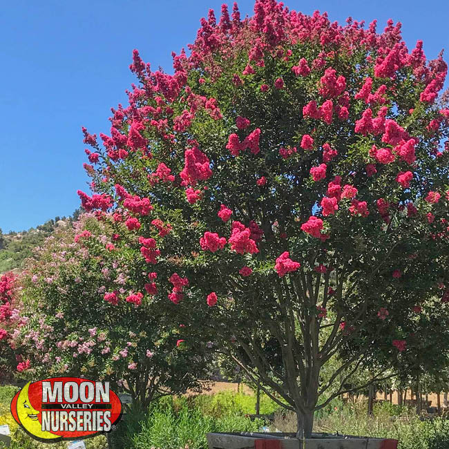 crape myrtle tree, moon valley nurseries, texas, landscape design