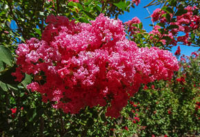 crape myrtle tree, fall trees, moon valley nurseries, fall season