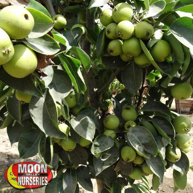dorsett-golden-apple