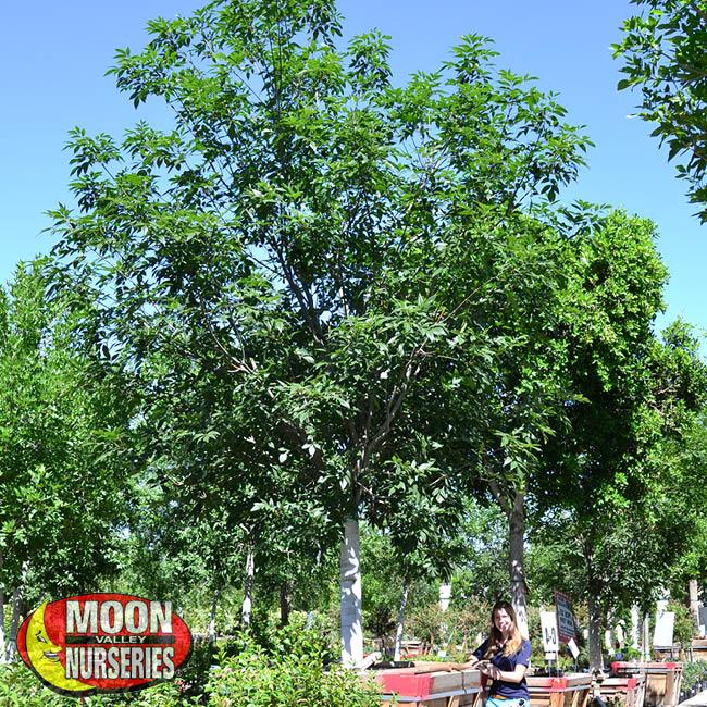 evergreen ash
