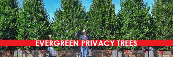 5 Evergreen Trees For Front Yard Privacy