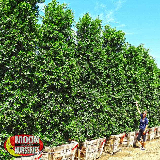 ficus columns, Indian laurel, moon valley nurseries