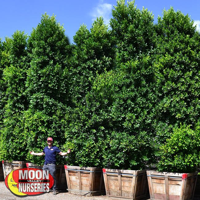 ficus coulmns,  moon valley nurseries, landscape design, indian laurel