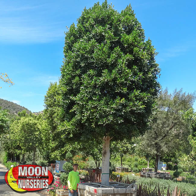 ficus tree, indian laurel, Arizona, Moon Valley Nurseries, landscape design