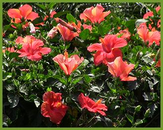 hibiscus-8