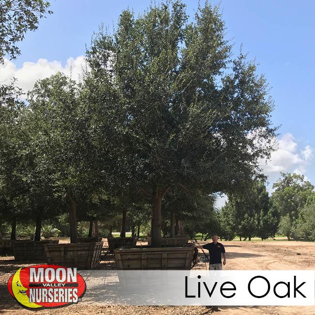 live oak-2