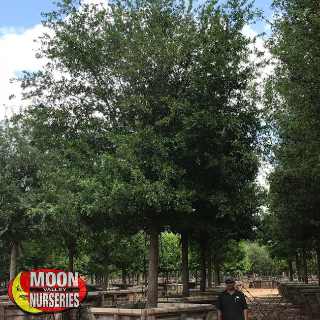 live oak, oak trees, moon valley nurseries, texas