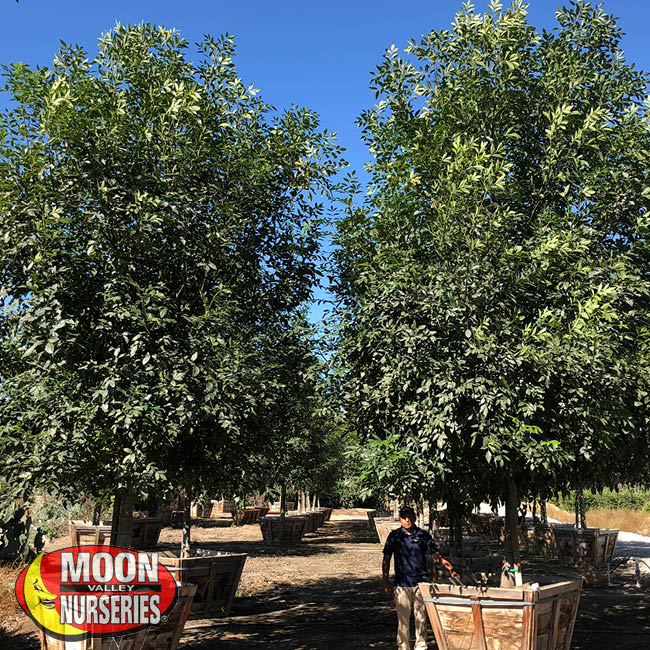 majestic ash tree,  moon valley nurseries, landscape design