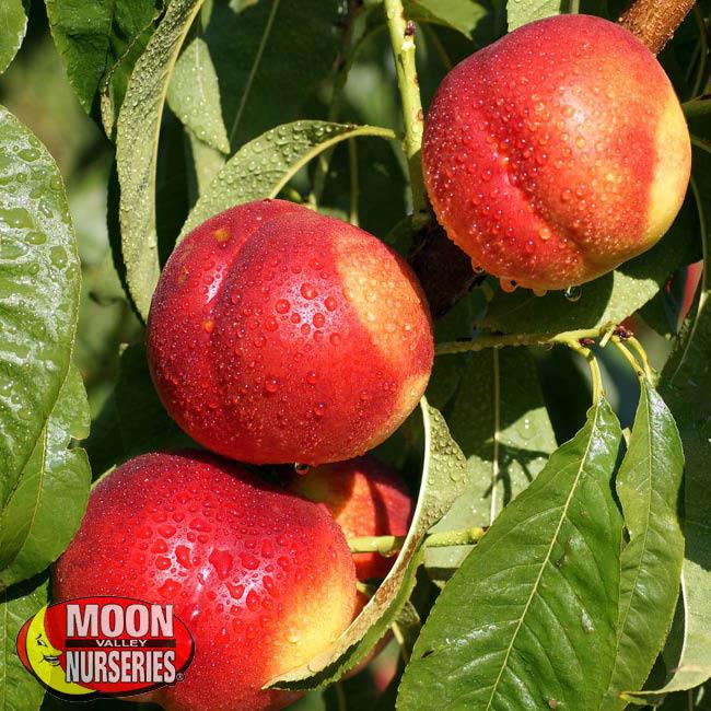 nectarines, fruit trees, stone fruit