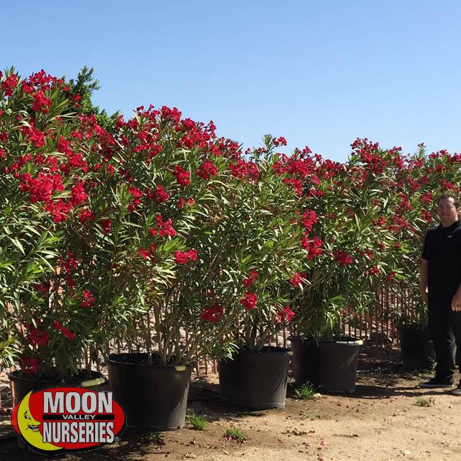 oleander-4
