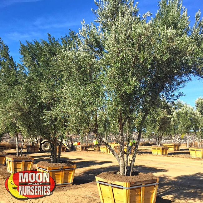 Arizona Moon Valley Nurseries Landscape Design Olive Tree