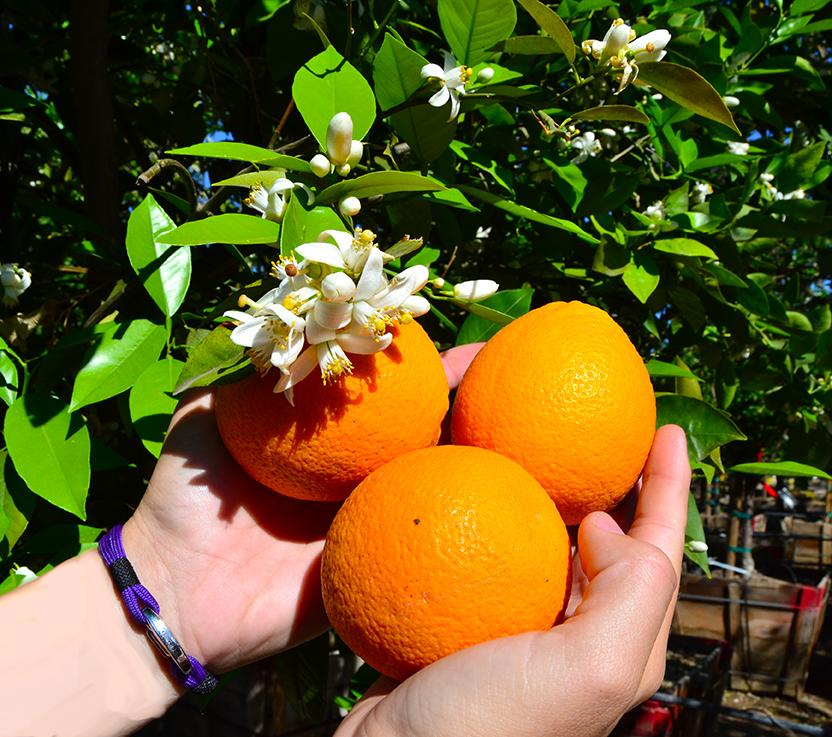 oranges_close_up