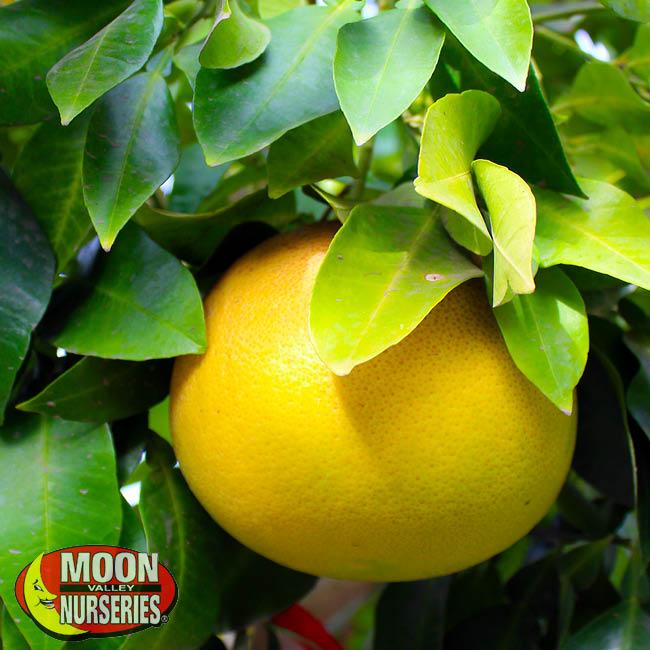 oro-blanco-grapfruit