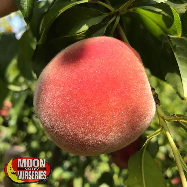 peach, peach tree, fruit  trees, moon valley nurseries