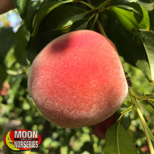 peach, peach tree, fruit  trees, moon valley nurseries