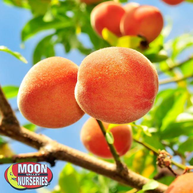 peach-7