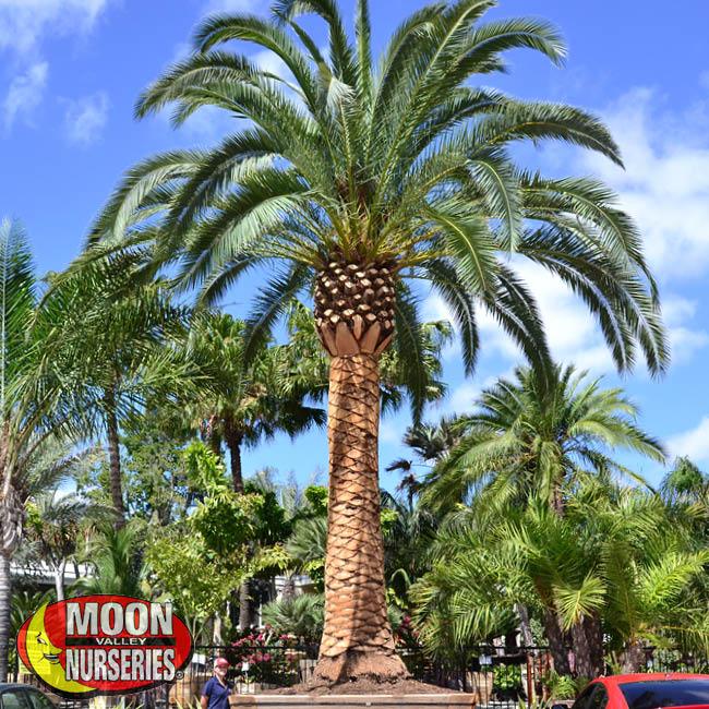 pineapple palm