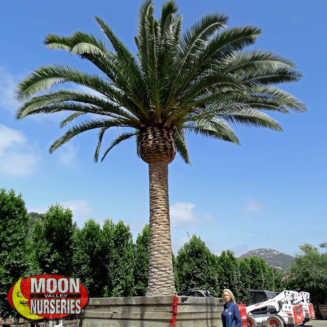 pineapple-palm