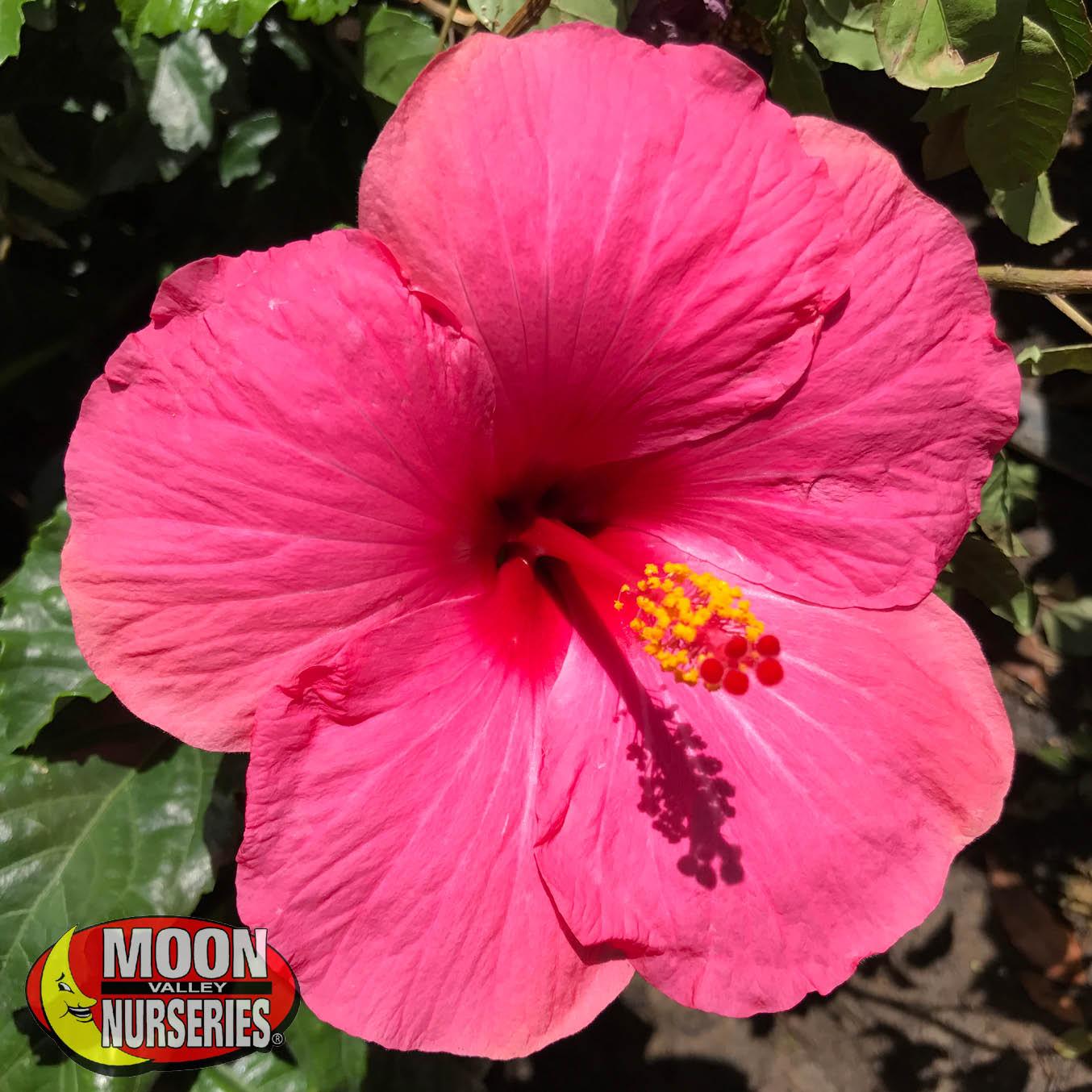pink_hibiscus_1