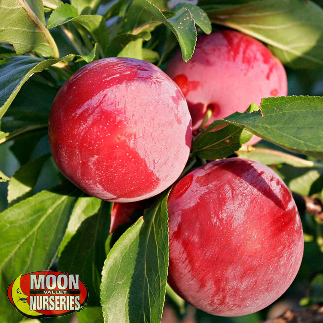 Plums Fruit Tree Moon Valley Nurseries California