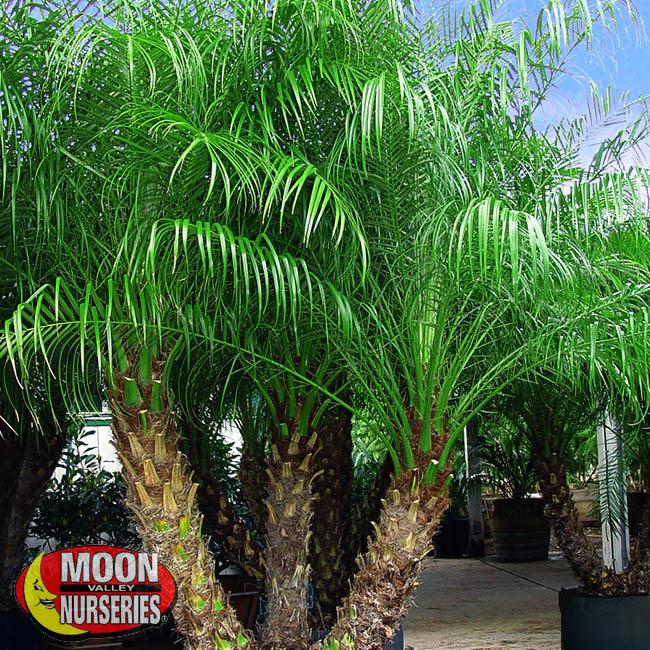 pygmy palms