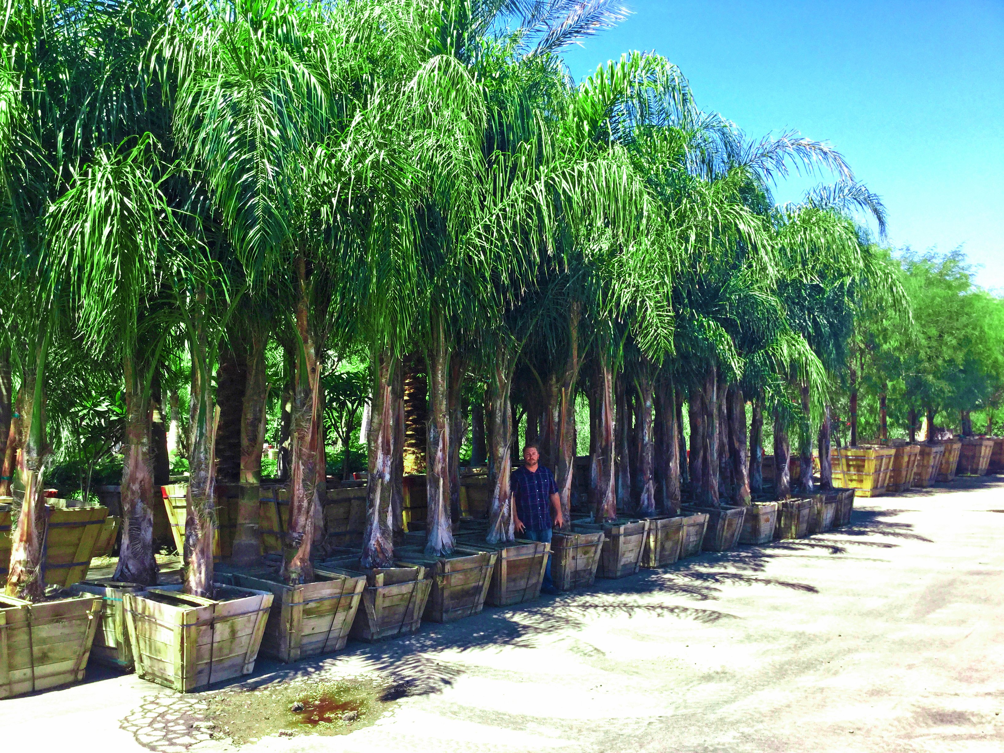 queen palms 30box with flood 2015 (3)