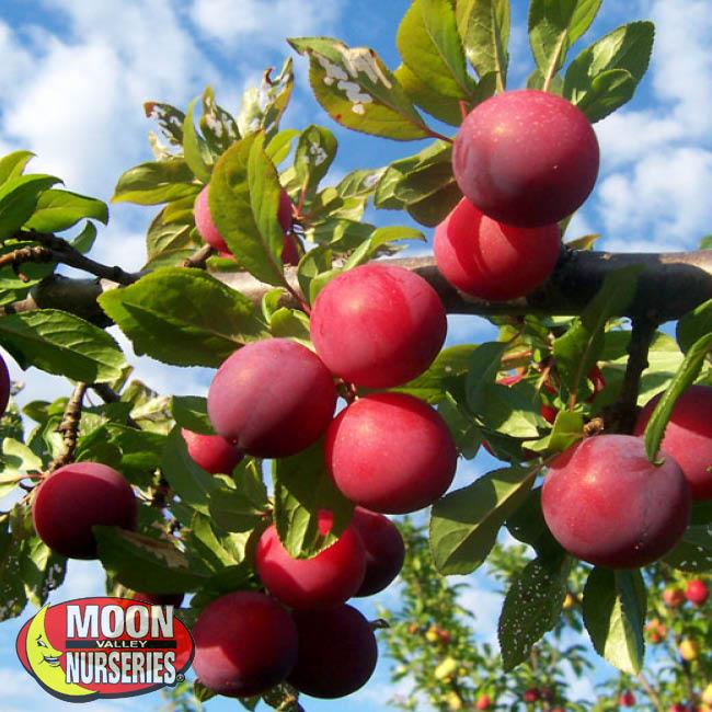 santa-rosa-plum