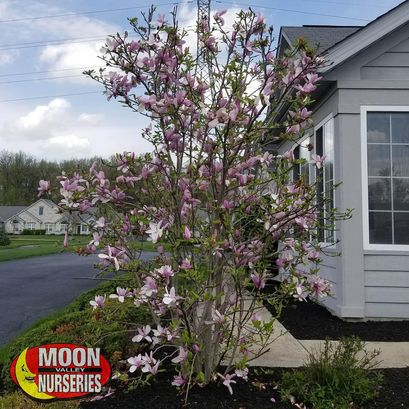 saucer_magnolia_SLIDE_1