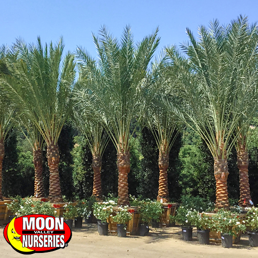 Resort-style date palms in moon valley nurseries