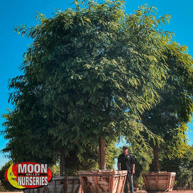 tipu tree,  moon valley nurseries, landscape design